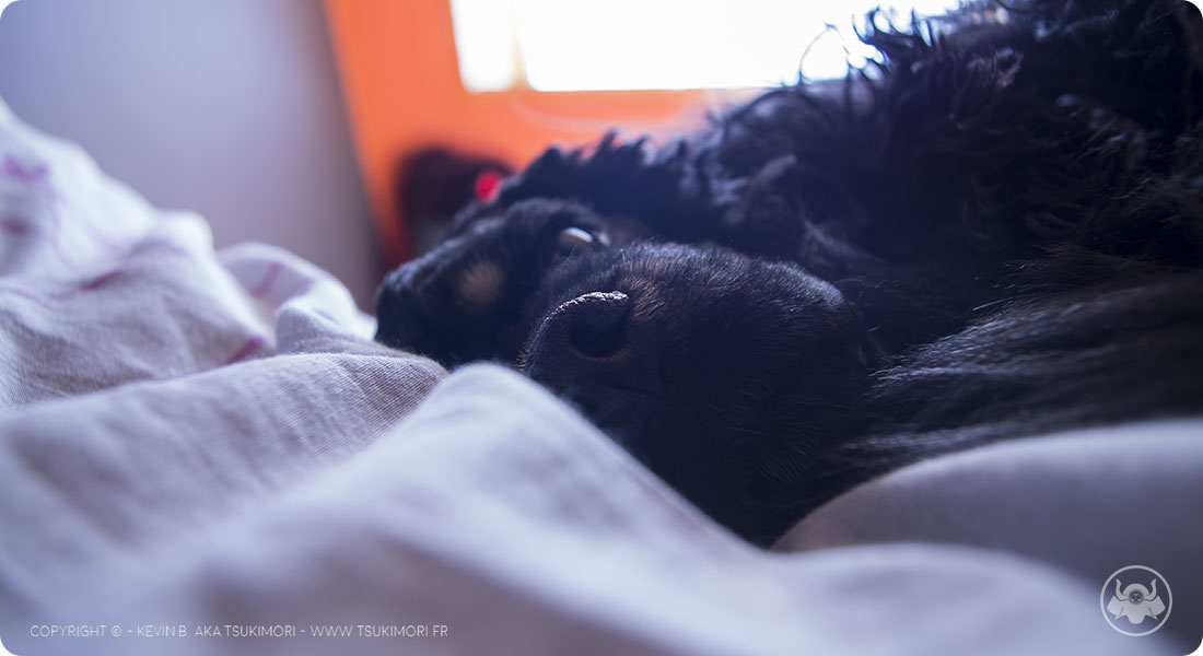 Cocker Américain - Sieste - Featured